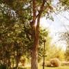Gagarin's tree