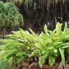 J. Botanique Cayenne